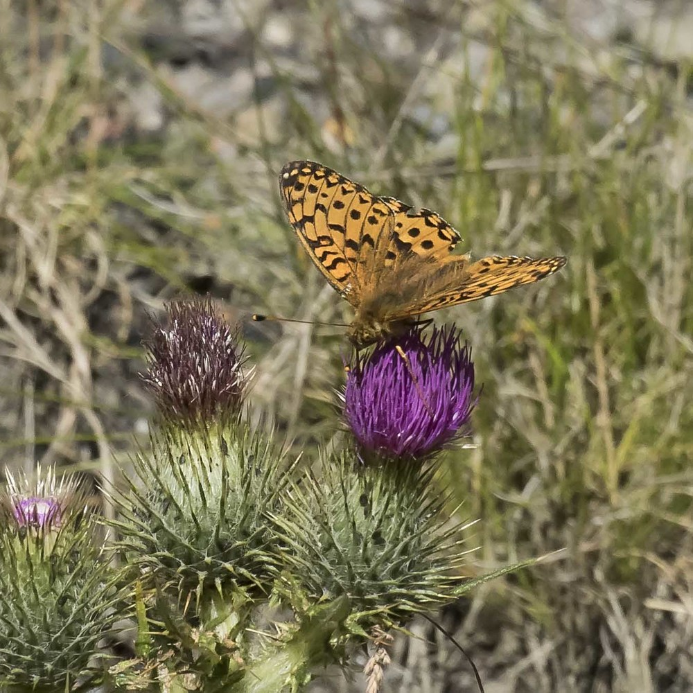 Dark-Green Fritillary 19th July.jpg