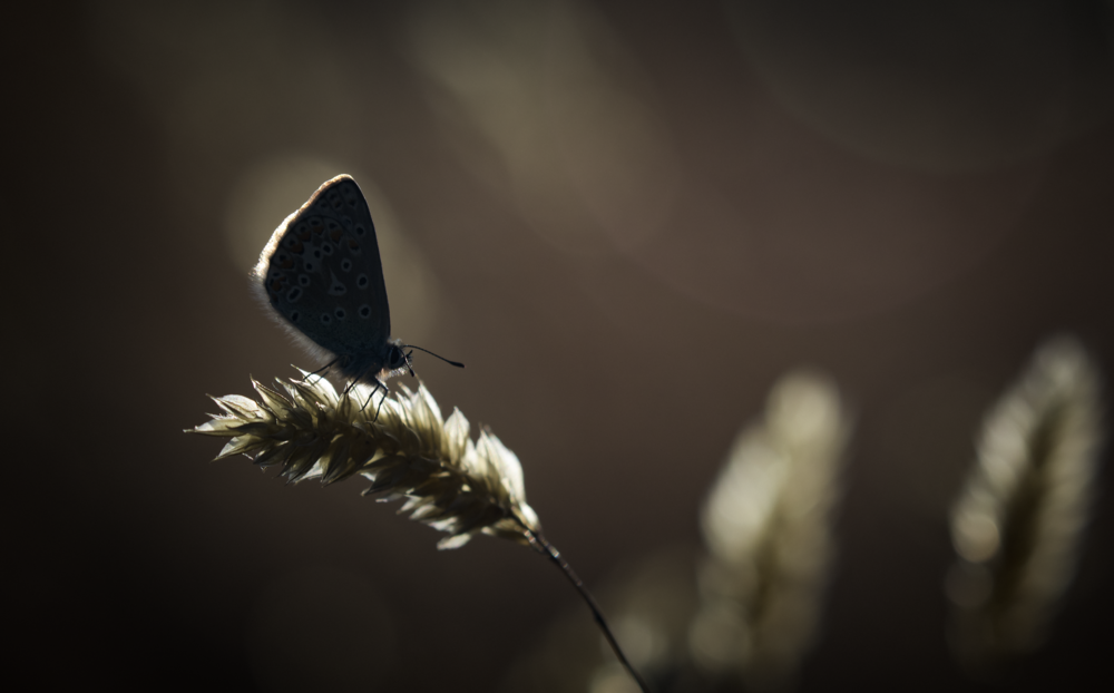 Common Blue Backlit 30th July copy.png