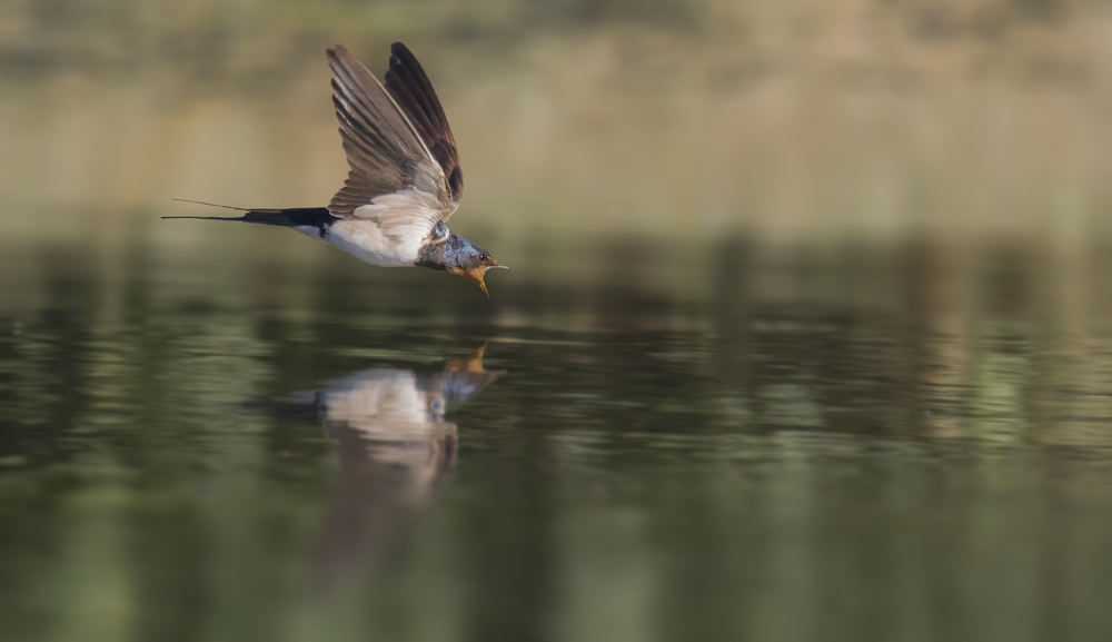 Swallow Drinking 30th July.png