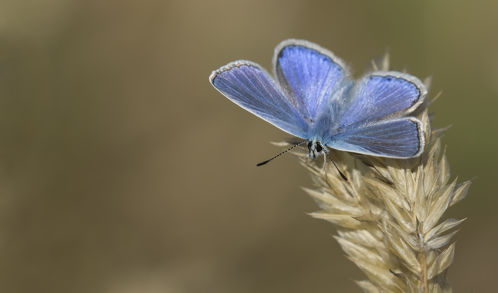 Common Blue Open 30th July.png