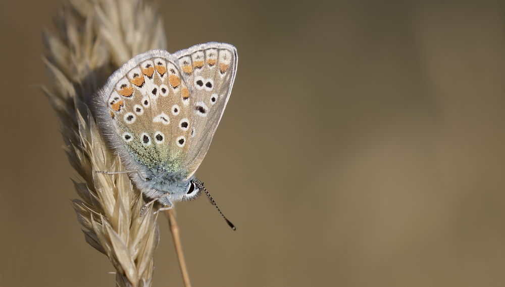 Common Blue Closed Best 30th July.png