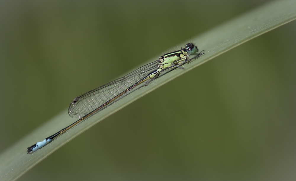 Female Blue-tailed Damselfly 30th July.png