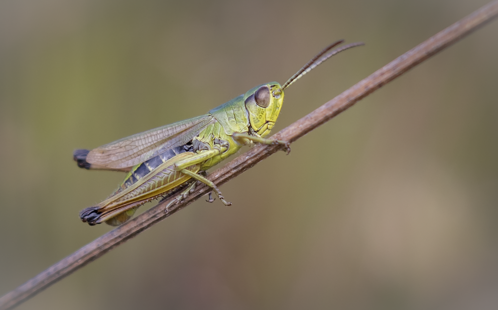 Meadow Grasshopper 30th July.png