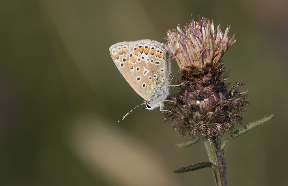 Common Blue 31st July.png