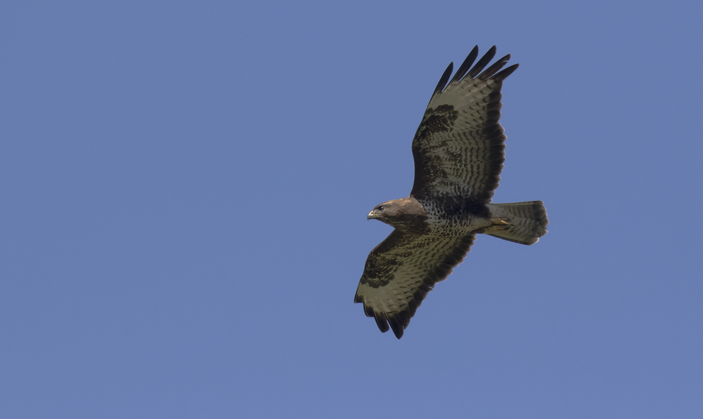 Buzzard 31st July.png