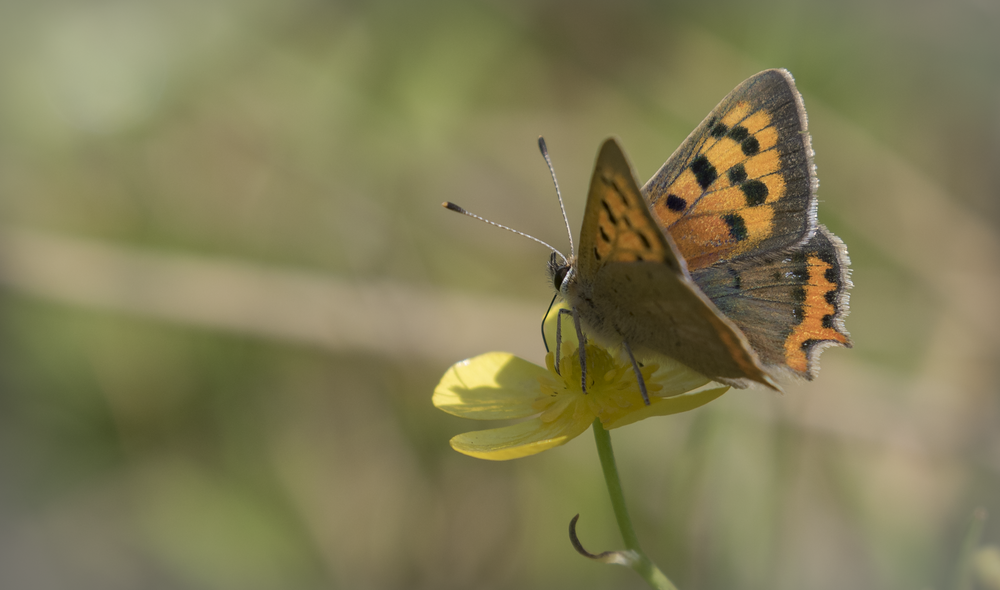 Small Copper Side On 31st July.png