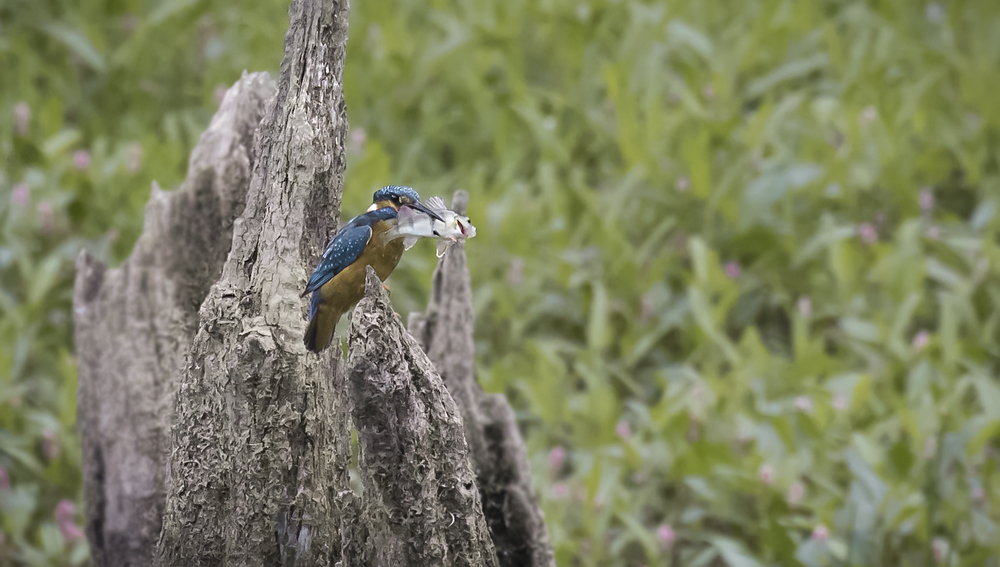 Kingfisher with Perch 1st August.png