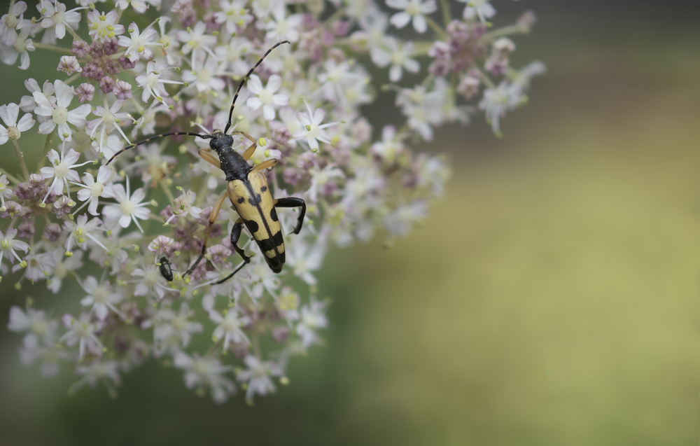 Rutpela maculata Longhorn Beetle 1st August.png