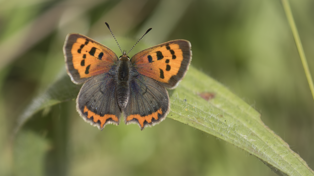 Small Copper 2nd August.png