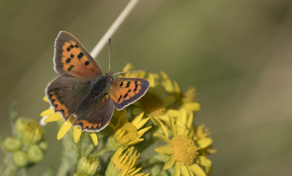 Small Copper 8th August.jpg