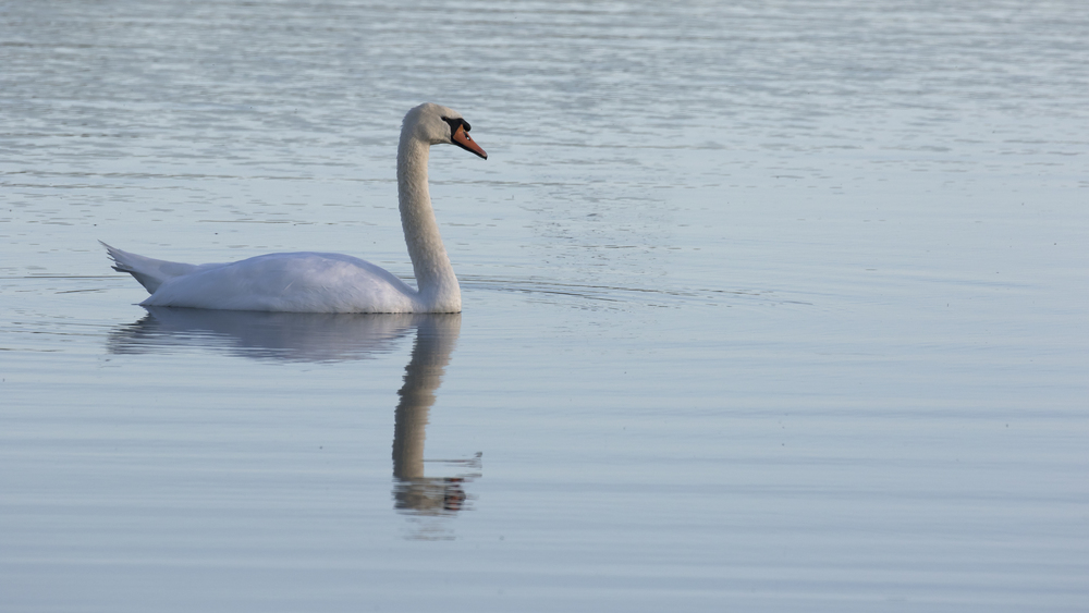 Mute Swan 15th August.jpg