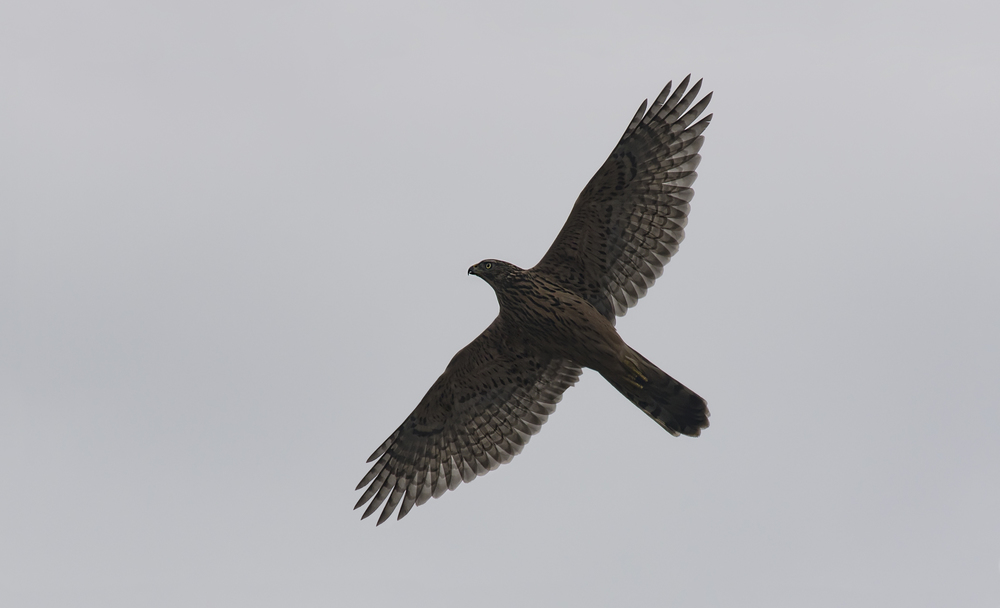Goshawk 15th August.jpg