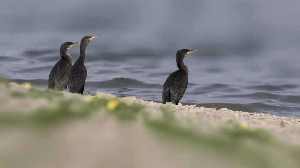 Cormorants 12th August.jpg