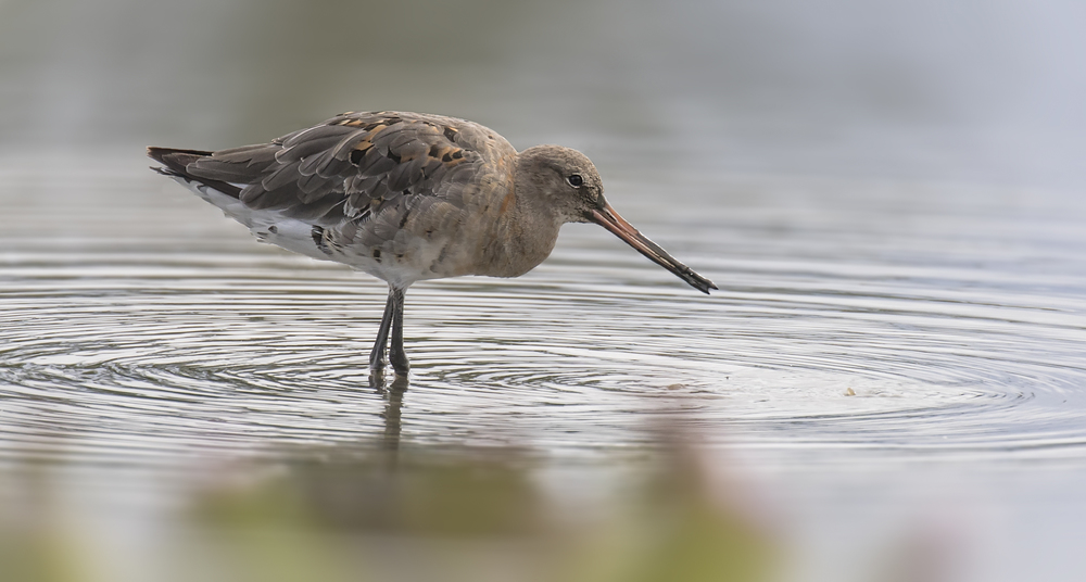 Black-tailed Godwit 16th August.jpg