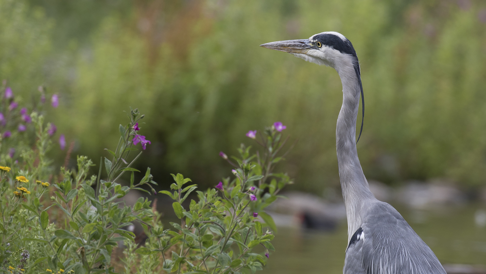 Grey Heron Plants 16th August.jpg