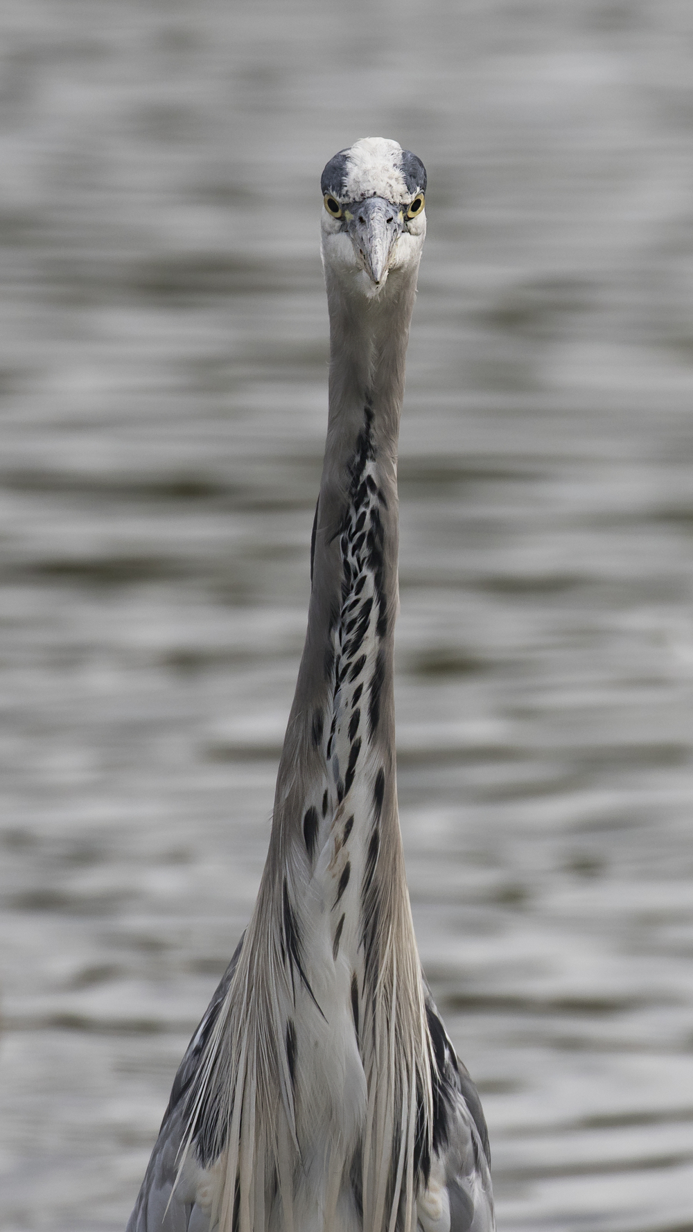 Grey Heron Frontal 16th August.jpg