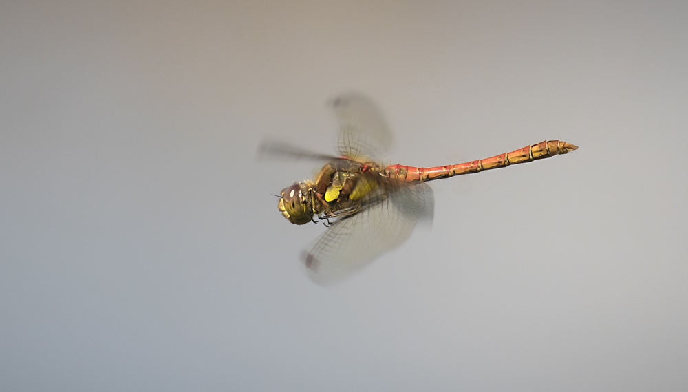 Common Darter 22nd August.jpg