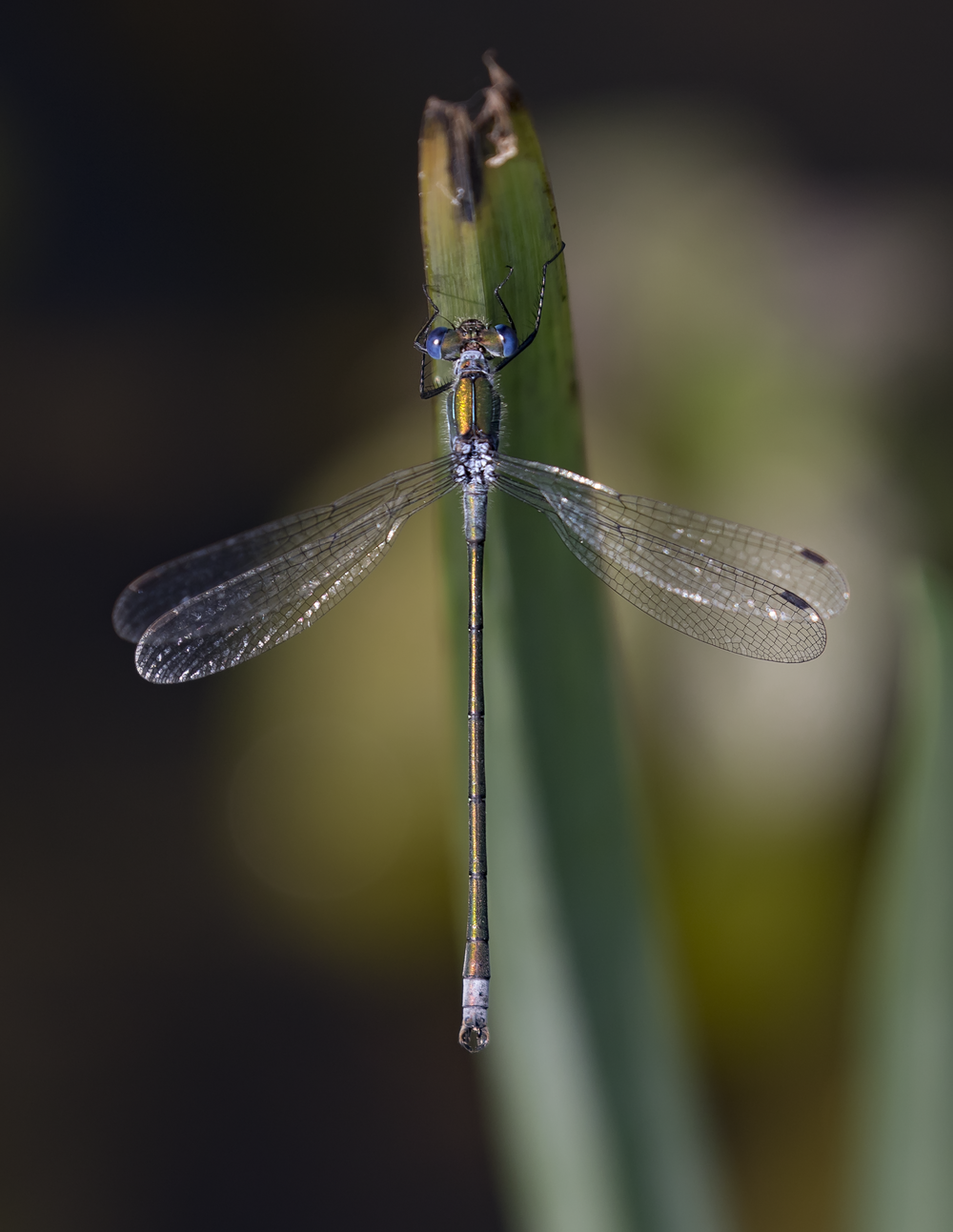 Emerald Damselfly 22nd August.png