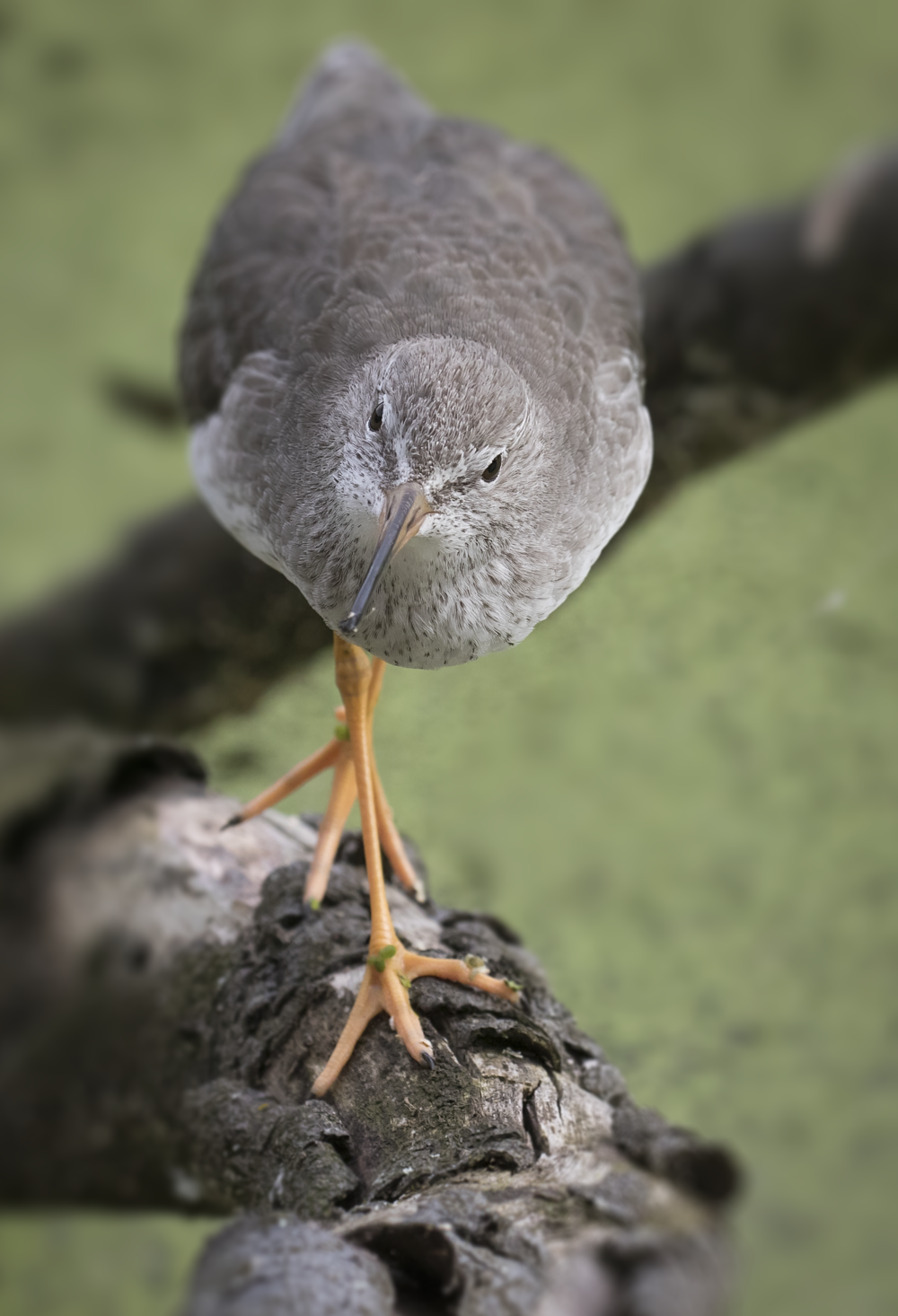 Redshank Portrait 13th September.png