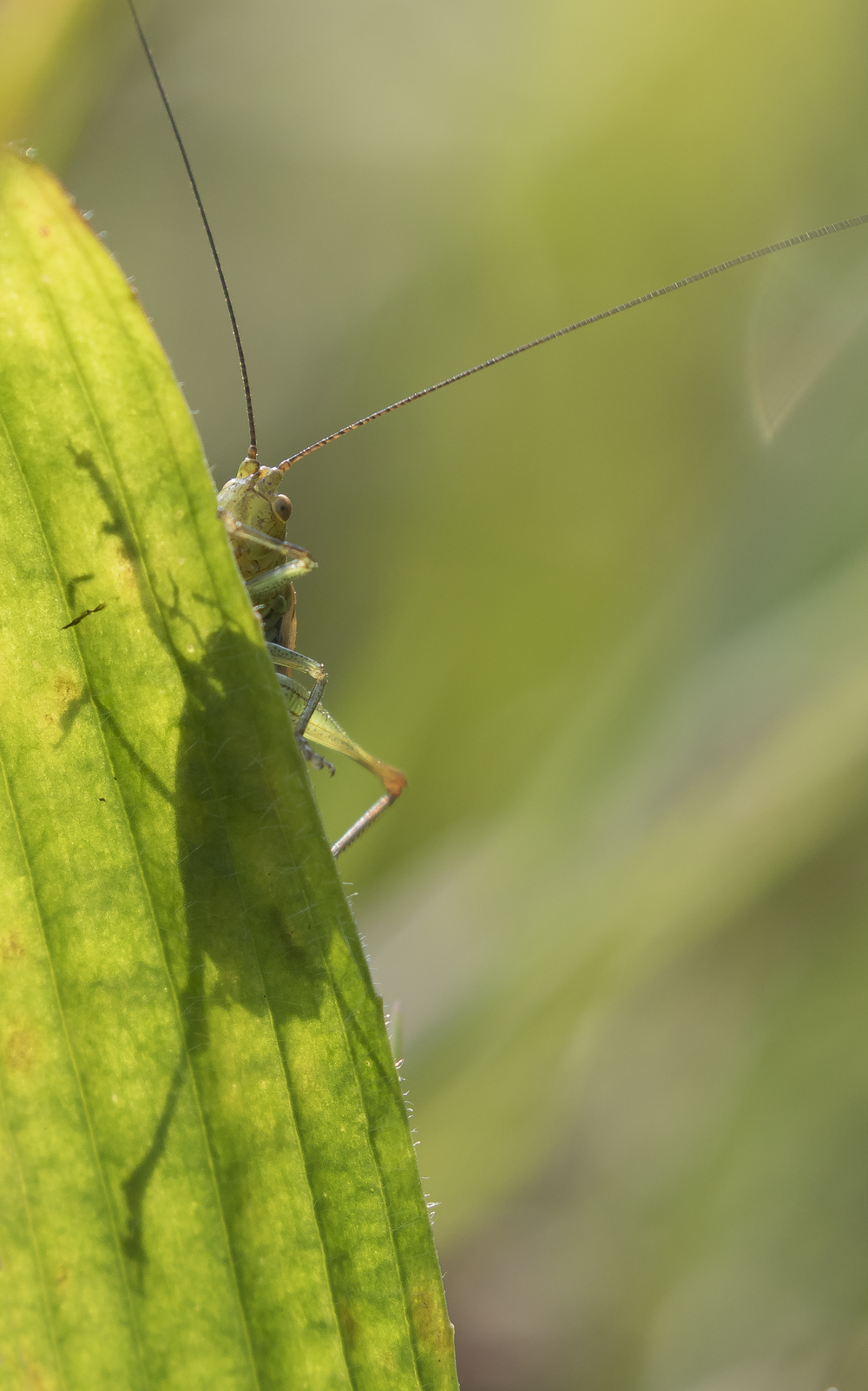 Long-winged Conehead Peaking 19th September.png