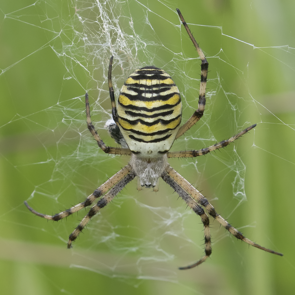 Wasp Spider Sqaured 20th September.png