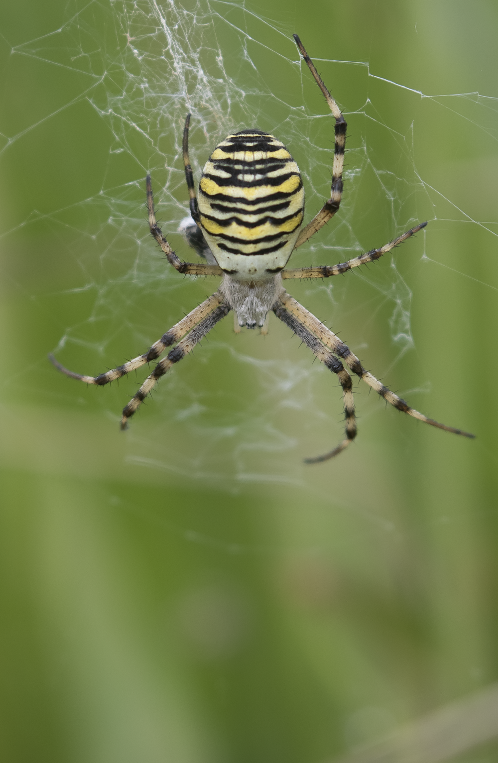 Wasp Spider Portrate 20th September.png
