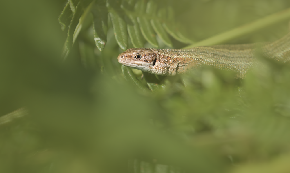 Common Lizard Best 25th September.png