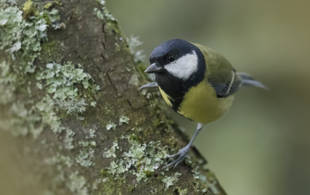 Great Tit Full 25th September.png