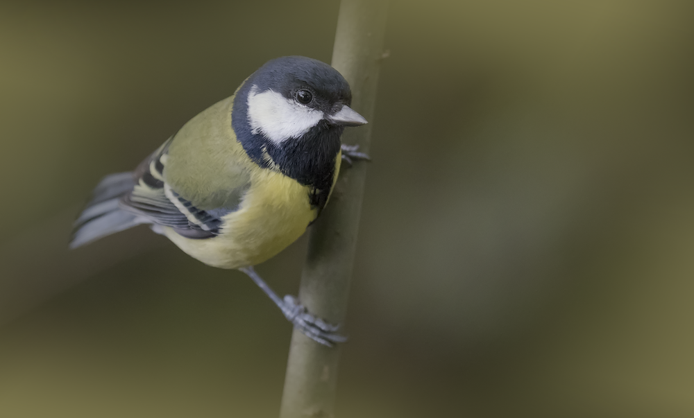 Great Tit 25th September.png