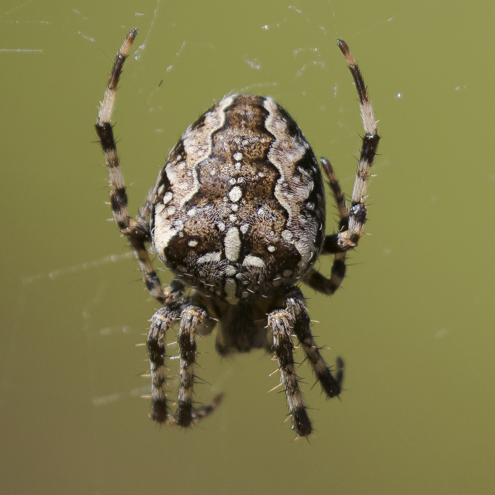 Garden Spider 26th September.png