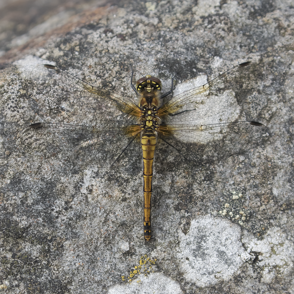 Female Black Darter ID 27th September.png