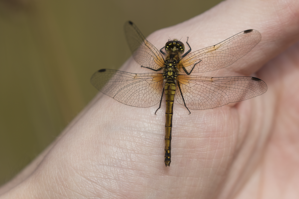 Black Darter on Hand 27th September.png