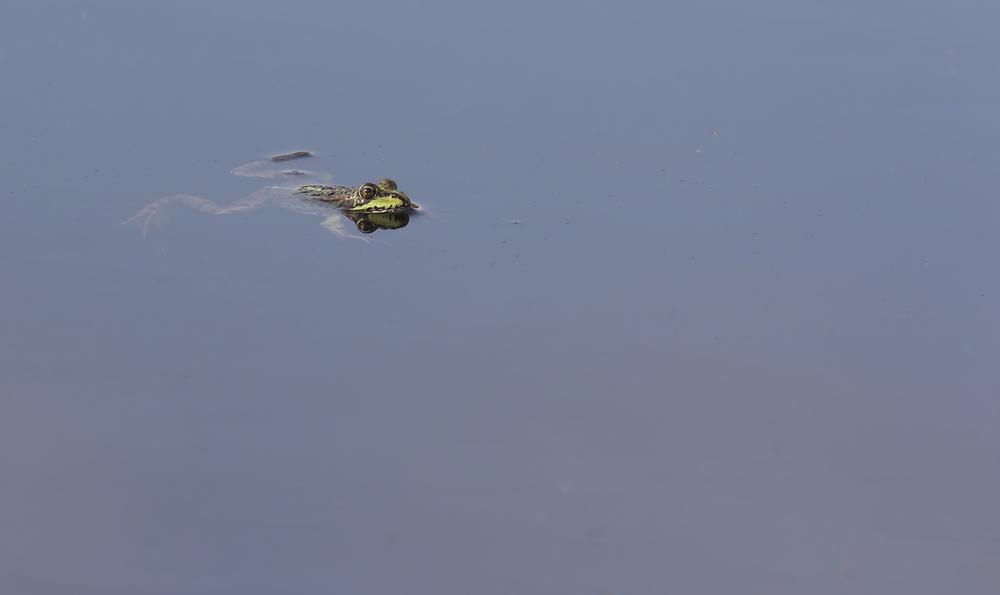 Marsh Frog 1st October.png