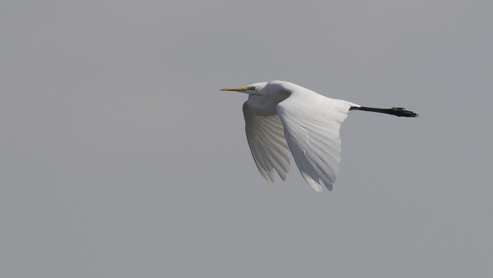 Great White Egret 1st October.png
