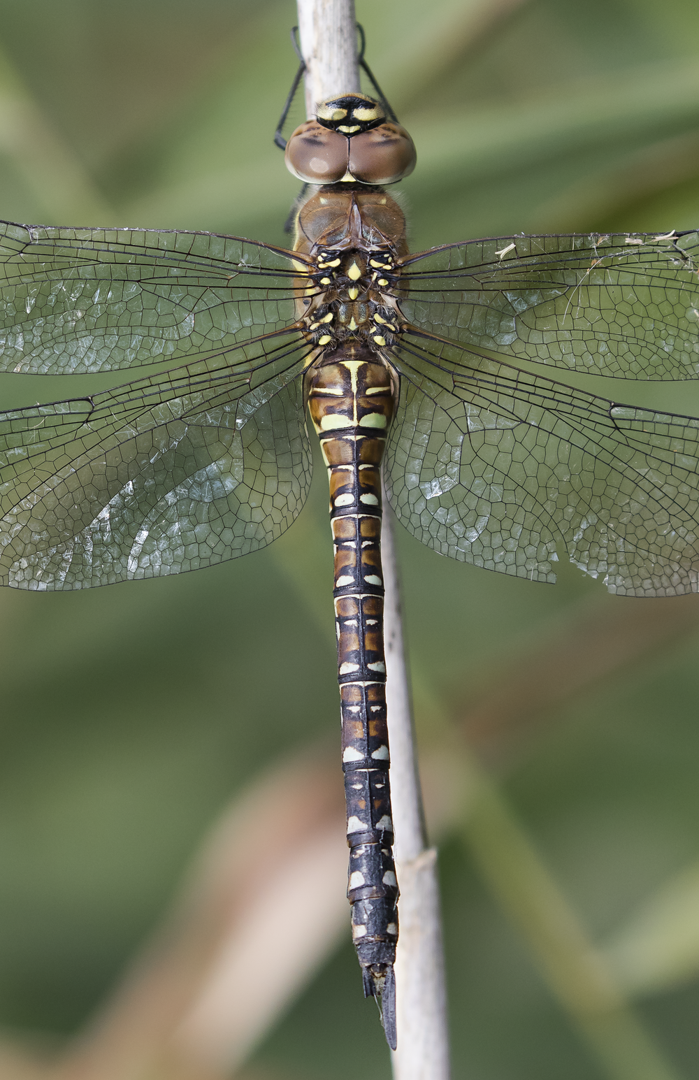 Female Migrant Hawker 1st October.png