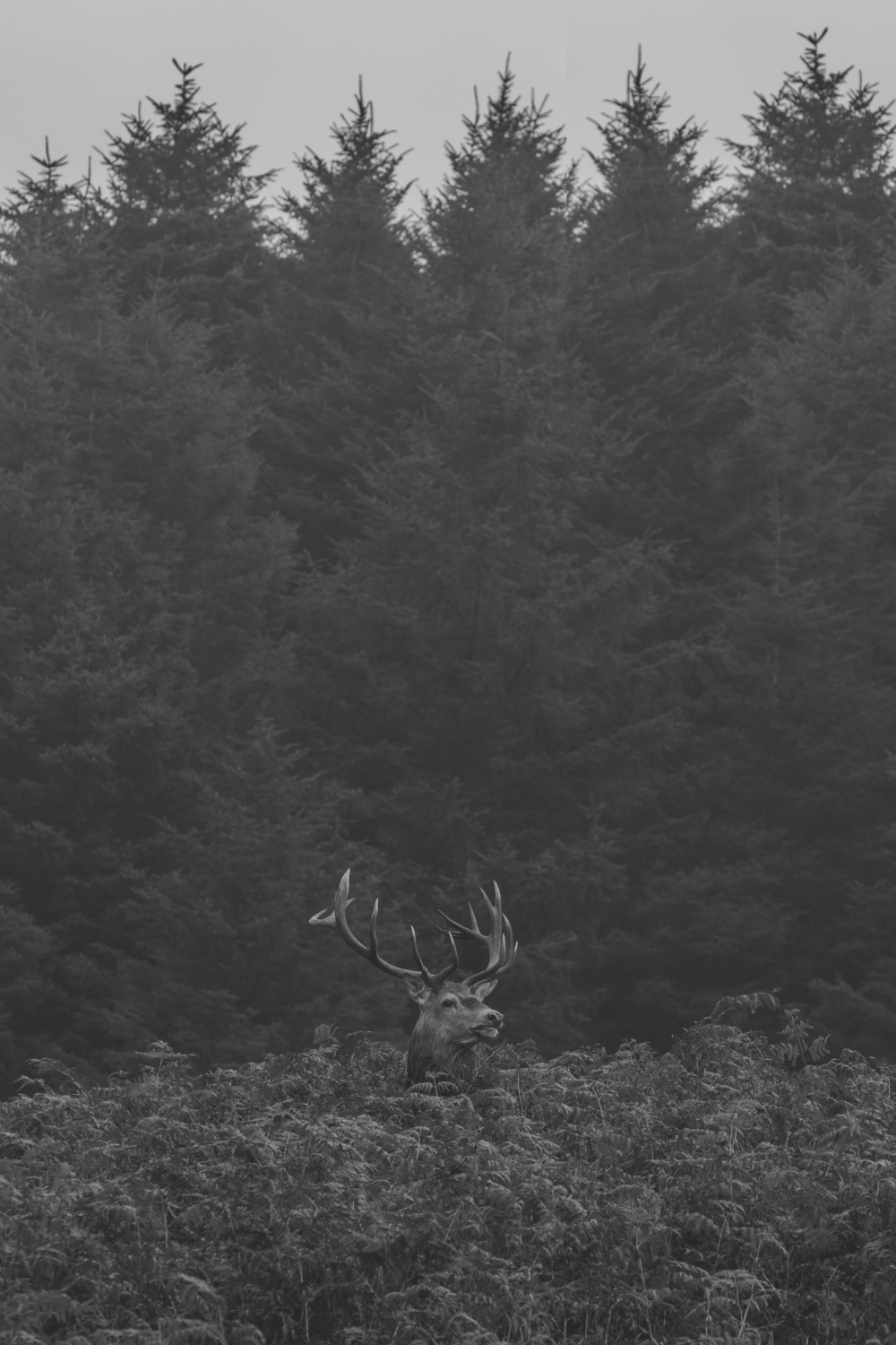 Red Deer Stag Natural 4th October.png