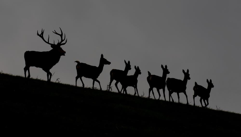 Red Deer Heard Backlit 4th October.png