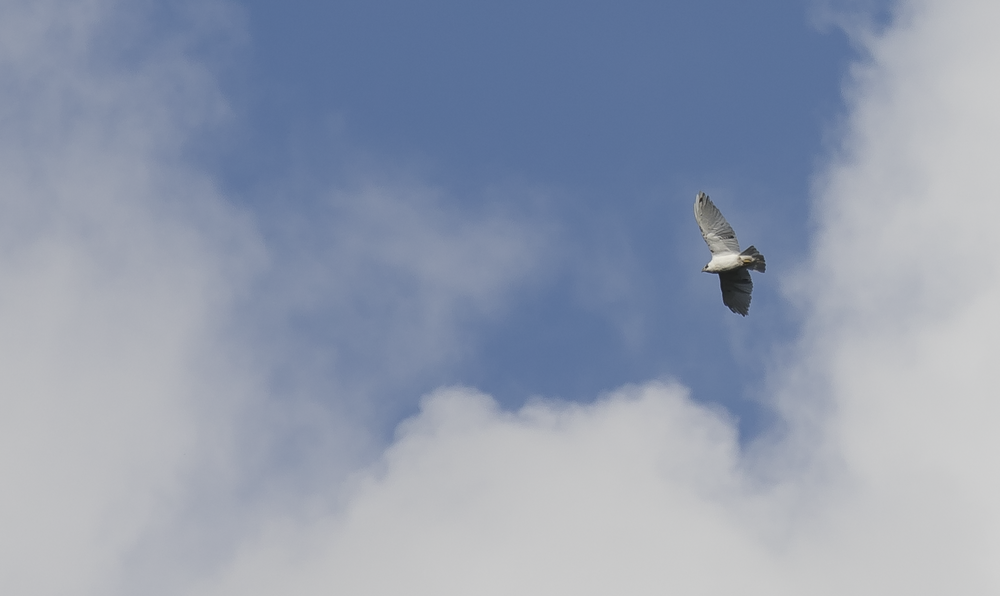 White Buzzard 9th October.png