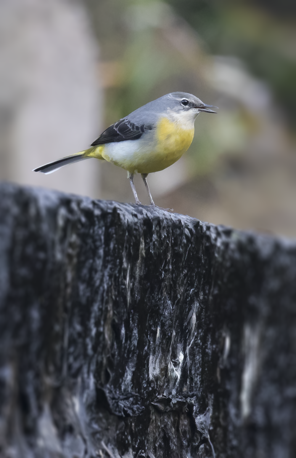 Grey Wagtail 9th October.png