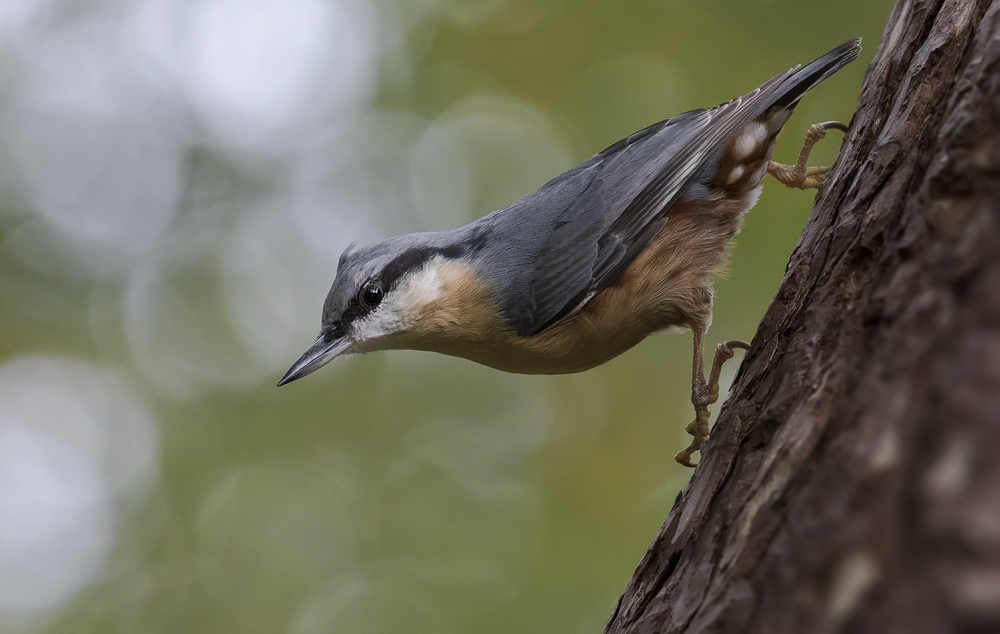 Nuthatch Character 11th October.png