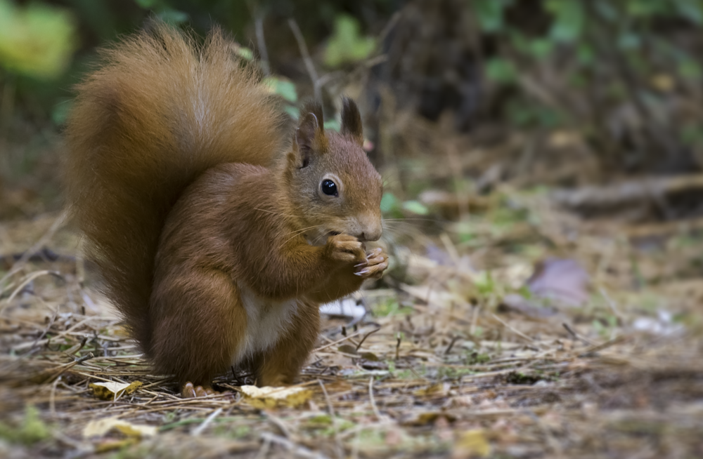 Red Squirrel Eating 11th October.png