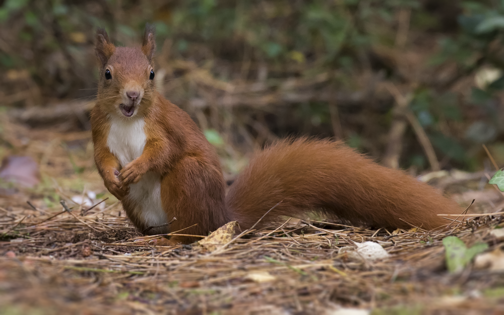 Red Squirrel Shock Face 11th October.png