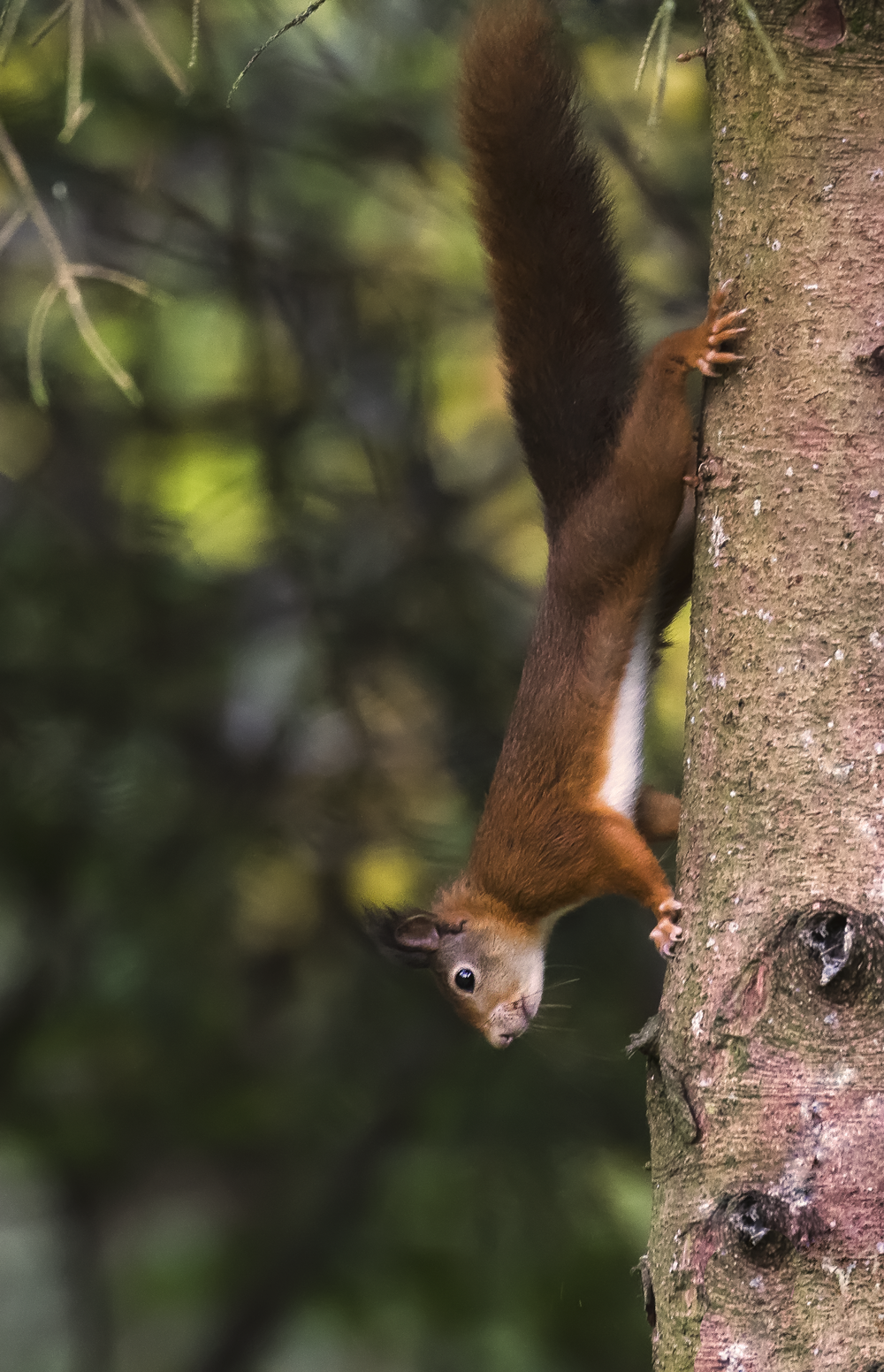 Red Squirrel Upside Down 11th October.png
