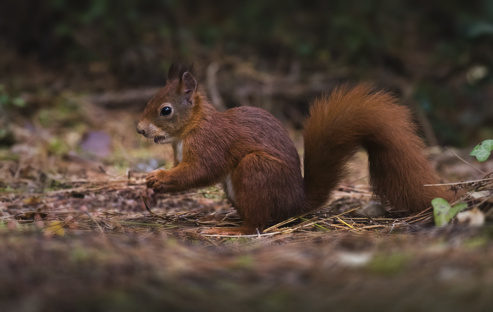 Red Squirrell Best 11th October.png
