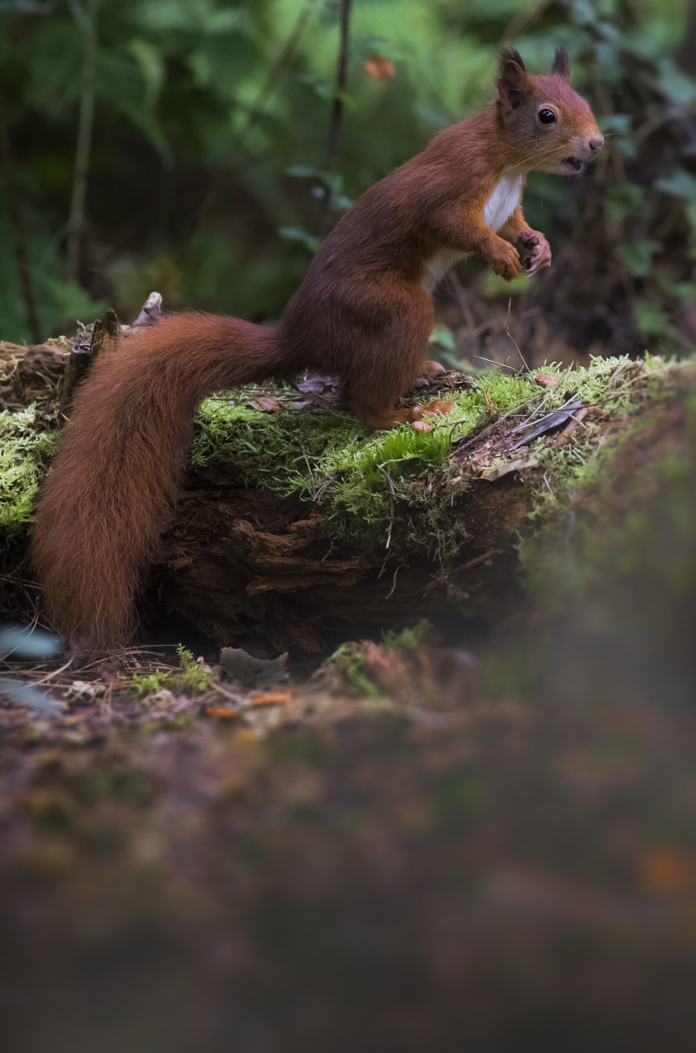 Red Squirrel Tall 11th October copy.png