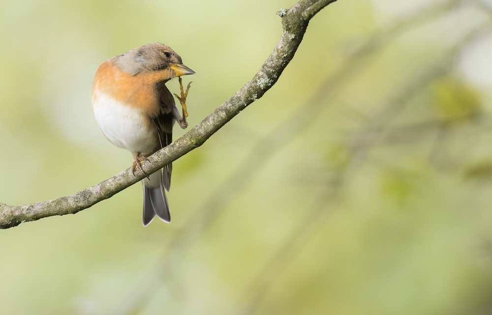 Female Brambling Arty Scratch 15th October.png