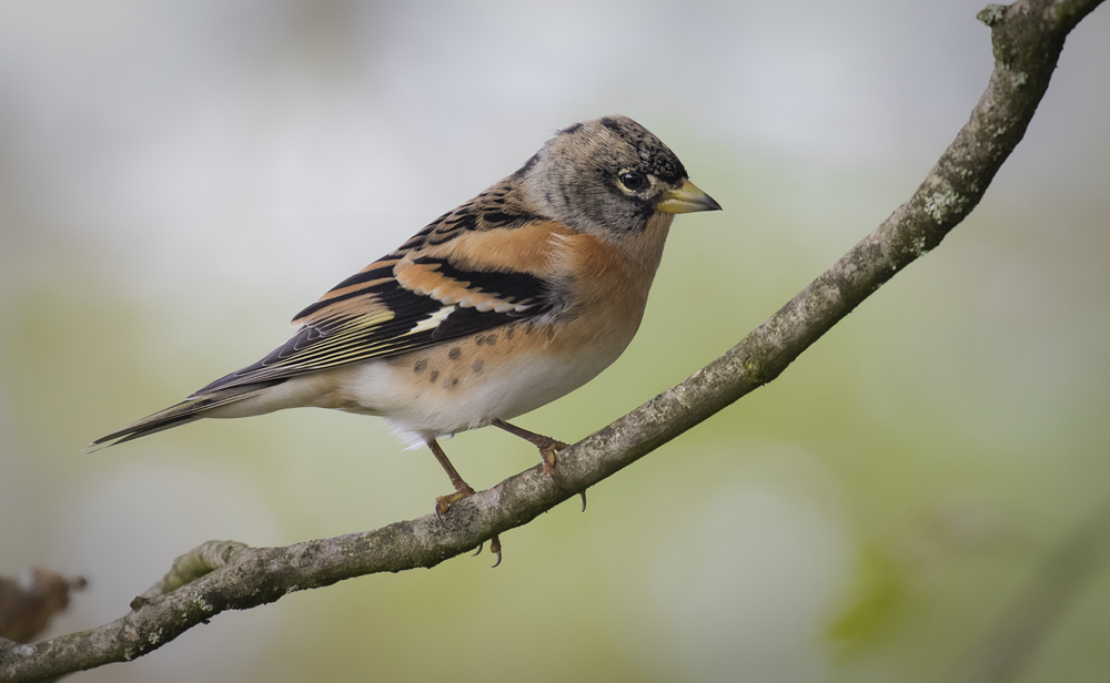 Male Brambling Tree 15th October.png