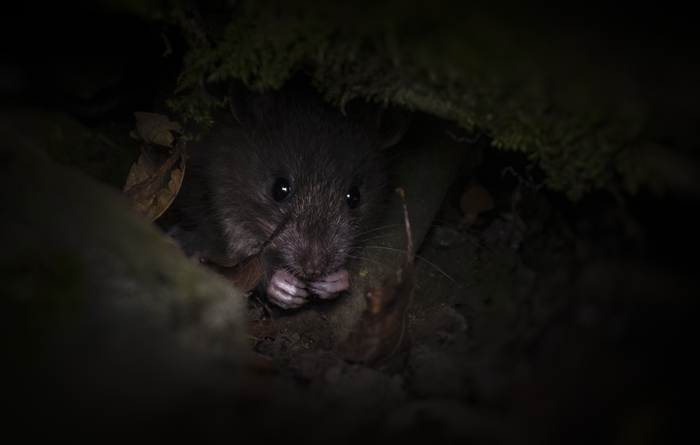 Field Mouse 15th October .png