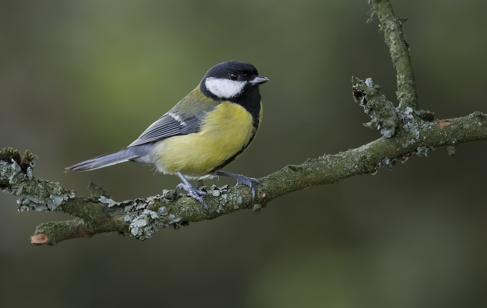Great Tit 17th October.png