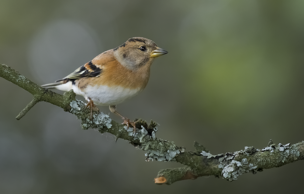 Brambling Female Thin Branch.png